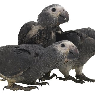 Congo African Grey Male Vs. Female