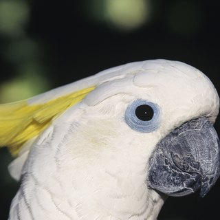 How to Keep a Cockatoo Quiet at Night?