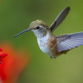 Hummingbird Nesting Habits