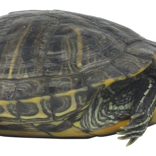 How Much Water Do Red-Eared Turtles Needs?
