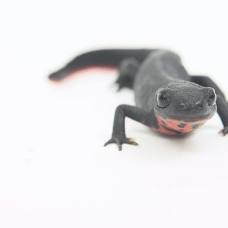 Can Salamanders Live With Fish?