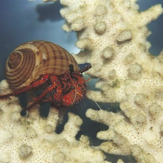 Land Vs. Ocean Hermit Crab