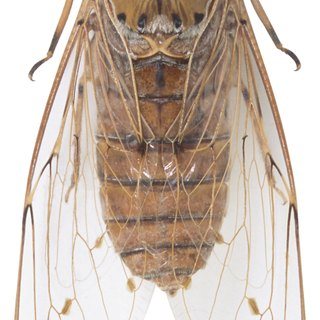 How Long Do Cicadas Live Above Ground?
