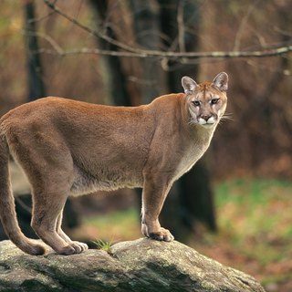 Why Do Cougars Scream?