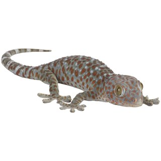 How to Tame a Tokay Gecko