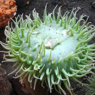 How to Tell if Your Anemone Is Dead