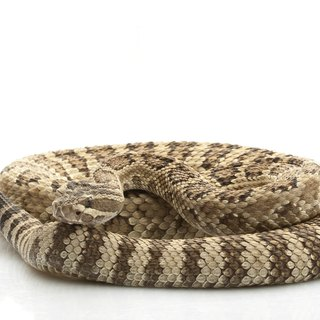 How to Care for a Pet Rattlesnake