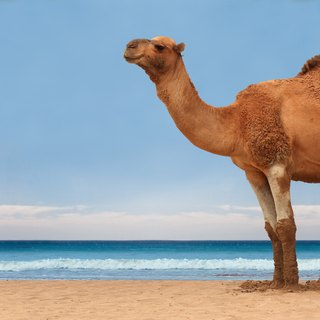 How Much Water Can a Camel Drink?
