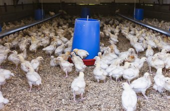 Poultry science professionals improve quality and production on poultry farms.