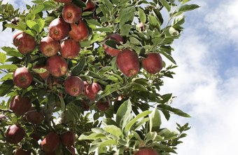 Some agricultural scientists focus on the growth of fruit trees.