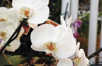 Phalaenopsis, or moth orchids, are widely available commercially.