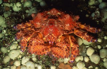 King crabs have thick legs with a good deal of meat inside.
