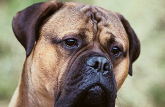 Breeding registered mastiffs allows you to sell purebred puppies.