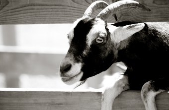 Goats are easier to care for and less expensive than larger farm animals, such as cows and horses.