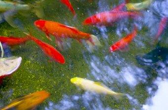 Raising Koi Fish for Profit | Chron com