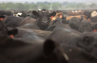 Some veterinarians become government inspectors, assessing feedlots and meatpacking plants.