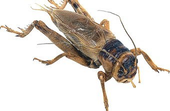 Crickets can be sold to several different markets.