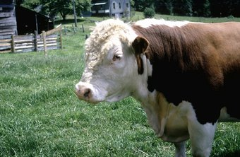 The Polled Hereford breed is one of the breeds raised on beef cattle ranches.