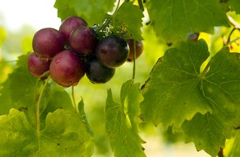 Muscadine grape seed extract offers a variety of potential health benefits.