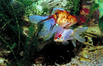 Raising Freshwater Aquarium Fish For Profit Chron Com