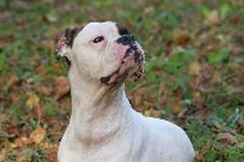 """The Boxer, a short-haired, medium-sized breed, is often mistaken for a """"pit bull""""-type dog."""