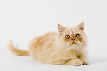 Persian Cats Vs. Ragdoll Cats