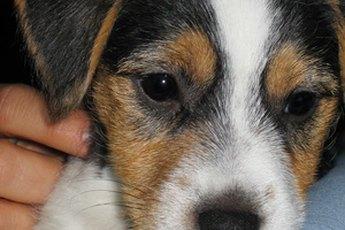 Toy Rat Terrier Information