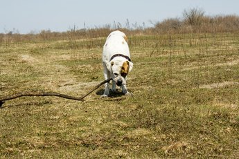 The American bulldog loves hard work and outdoor activity.