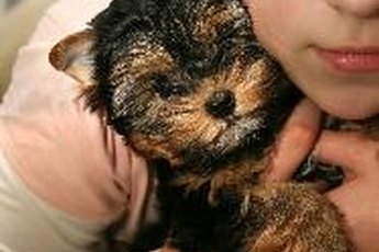 About Teacup Yorkies