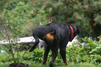 Dogs can quickly destroy a beautiful garden.