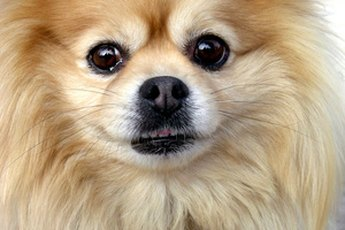 How to Get Knots Out of a Pomeranian