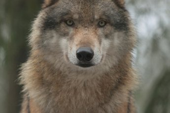 How Are Wolves & Dogs the Same?