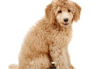 Do Poodles Have to Get Haircuts?