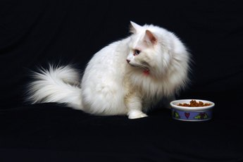 If your dog has access to your cat's food, your cat may become paranoid and overeat.