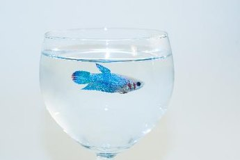 If fed properly, male betta fish grow long, colorful fins.