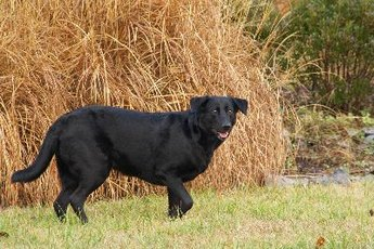 Grass seeds and bits of straw show up clearly against a black coat.