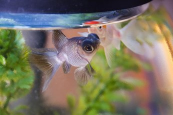 Though his eyes are large, the telescope eye goldfish has limited vision.