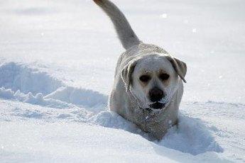Labrador Dog Characteristics