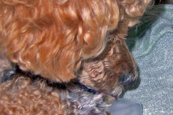 Ear Infections in Poodles
