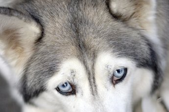 Between 8 and 10 percent of Siberian huskies have hereditary cataracts.