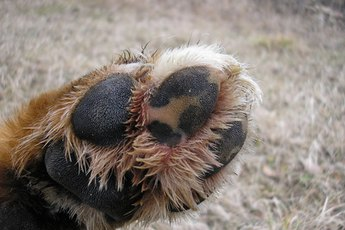 What Are the Treatments for Sore Cracked Dog Paws?