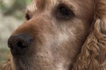 Ear Irritations With Cocker Spaniel Dogs