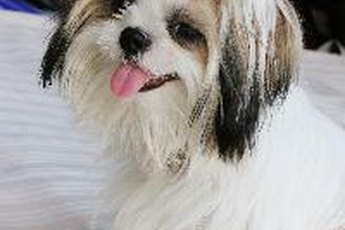 A Shih Tzu can soften the hardest of hearts.