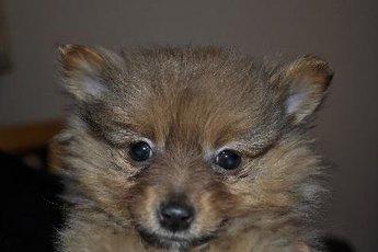 Pomeranian Diseases