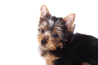 Even if your Yorkie is not scratching, check him regularly for fleas.