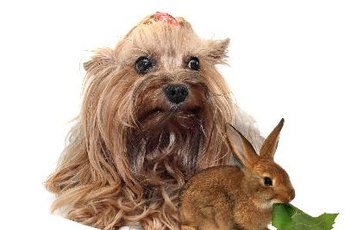 How to Add Fiber to a Cairn Terrier