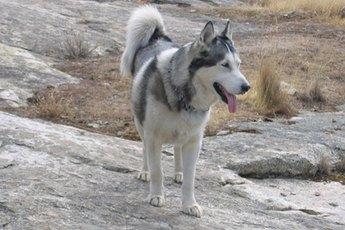 How to Bathe a Siberian Husky