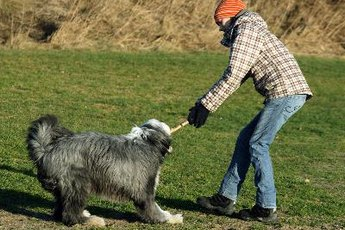Health Problems in Old English Sheepdogs