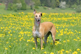 How to Choose a Retired Greyhound