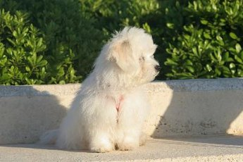 Even a young bichon's coat gives fleas plenty of room to hide.